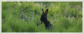 hare looking out over tall grass