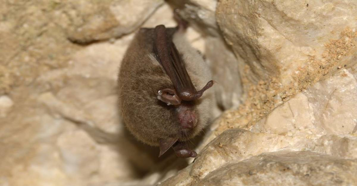 a northern long eared bat
