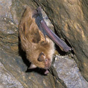 little brown bat in the adirondacks