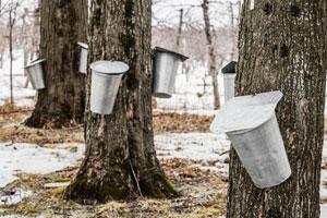 maple buckets on trees