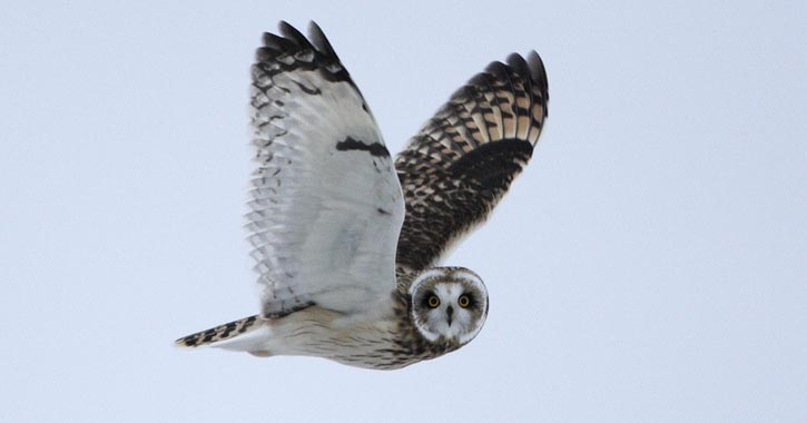 short eared owl flying through sky