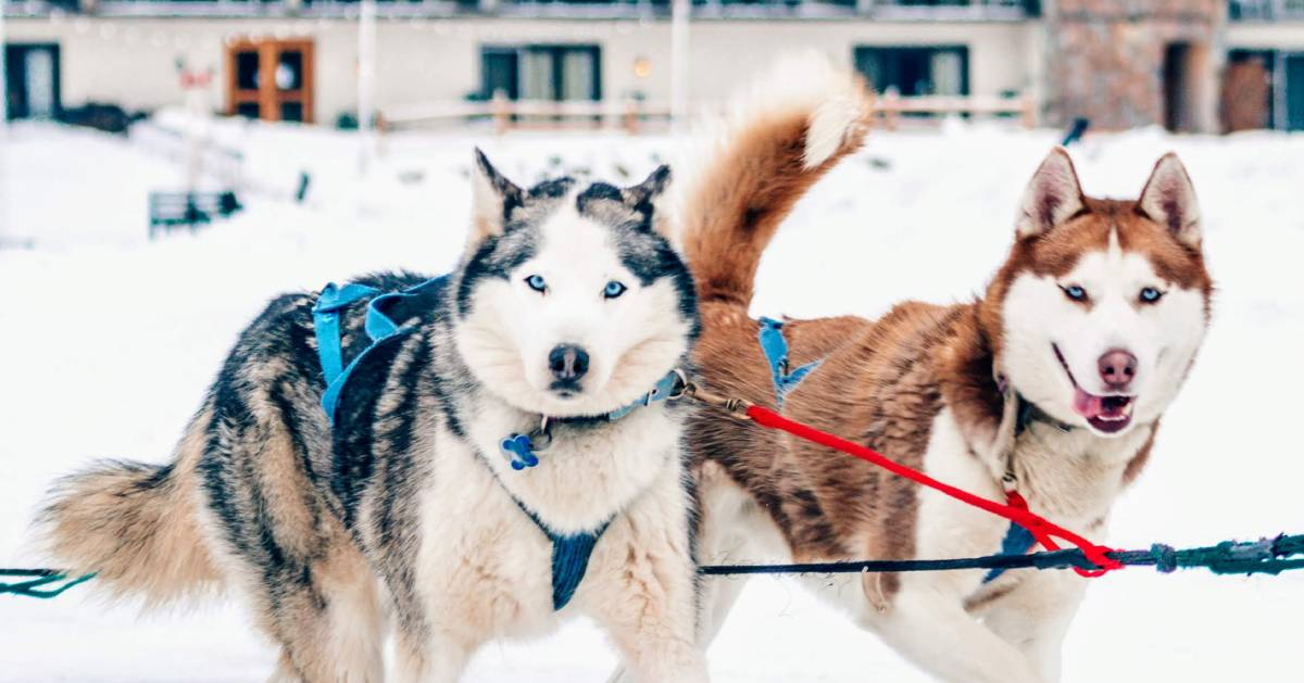 two sled dogs