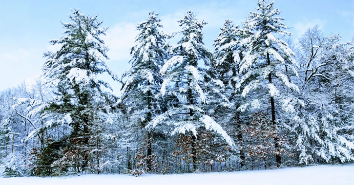 tress covered in snow