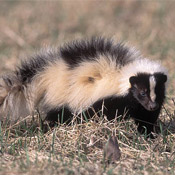 striped skunk in the adirondacks