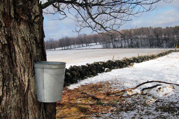 maple bucket on a tree