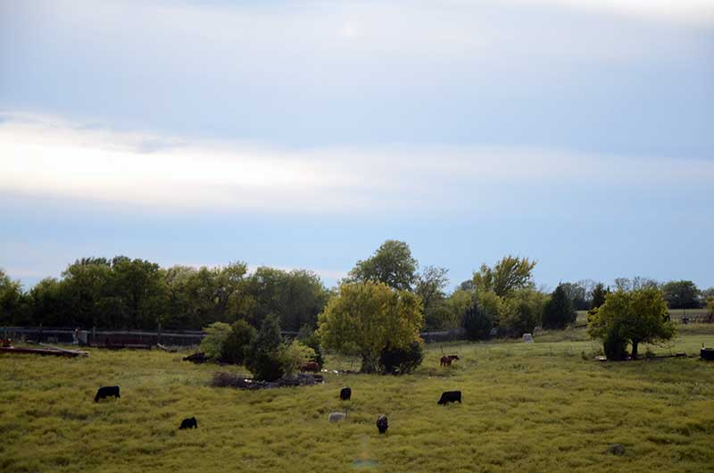 Black cowns and other farm animals eating in a pasture