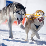 sled-dog-races.jpg