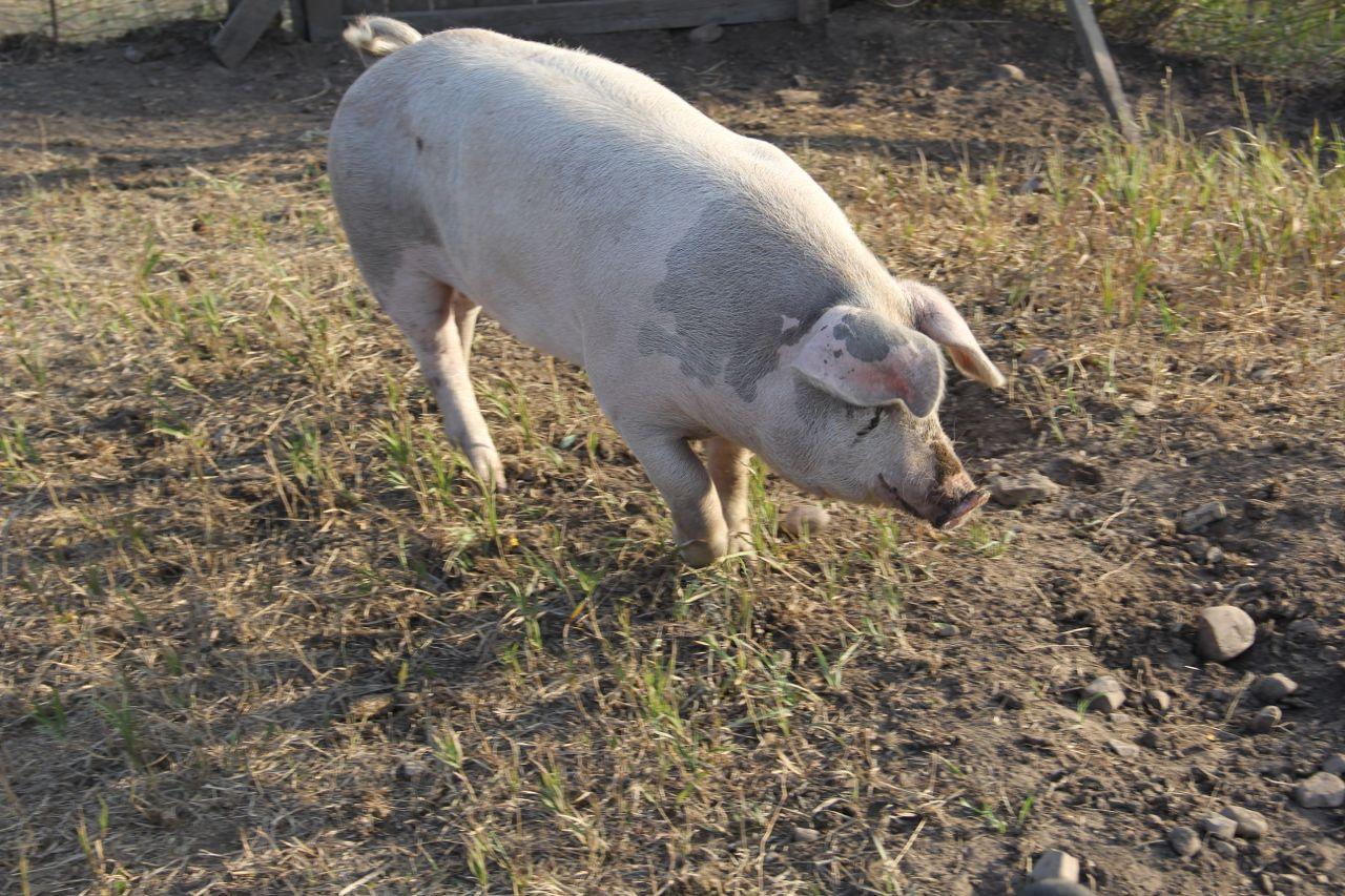 farmstead-pig.jpg