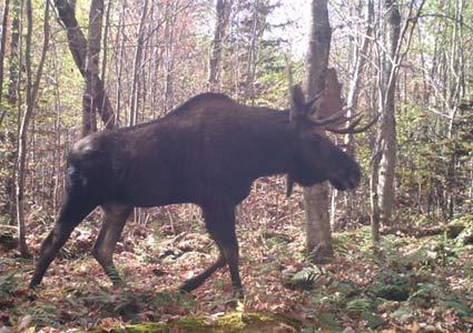 moose-population.jpg