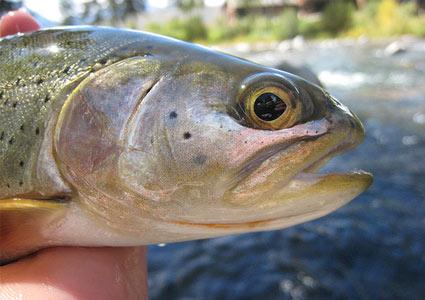 brook-trout.jpg