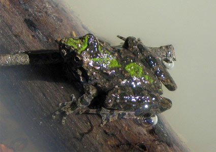 cricket-frog.jpg