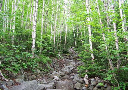 birch-forest.jpg