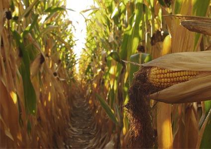 corn-maze1.jpg