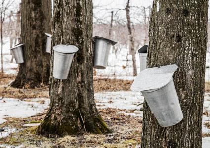 maple-trees.jpg