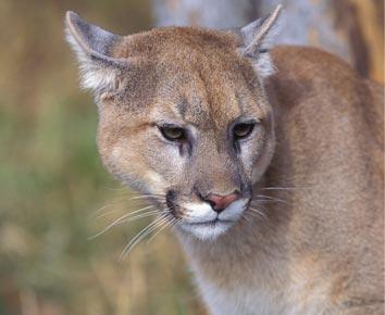 cougar-sightings.jpg