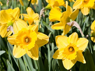 daffodils-fest.jpg