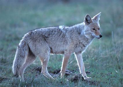 lemmo-coyote.jpg