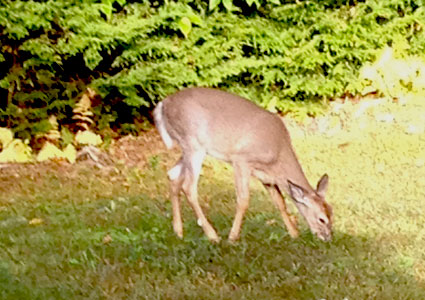 deer-in-yard.jpg