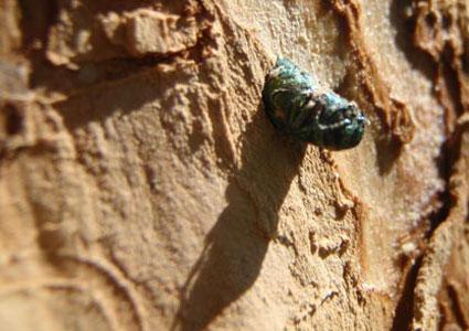 emerald-ash-borer-invasive.jpg