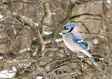 blue-jay-in-tree.jpg