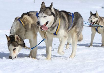 dog-sled-team.jpg