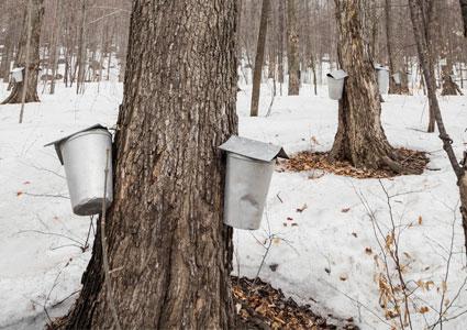 maple-trees-sap-buckets.jpg
