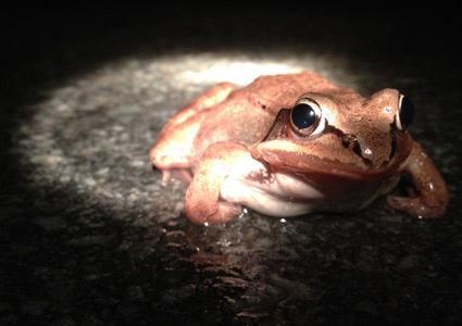 woodfrog.jpg