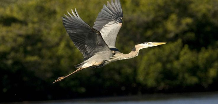 blue heron flying