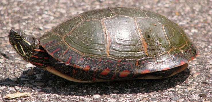 painted turtle on the road