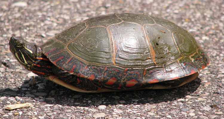 Slow Turtle Crossing >> Adirondack Turtles Are On The Move Motorists Asked To Give Them A Brake
