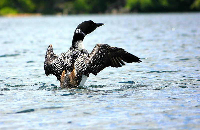 The common loon on water with wings spread
