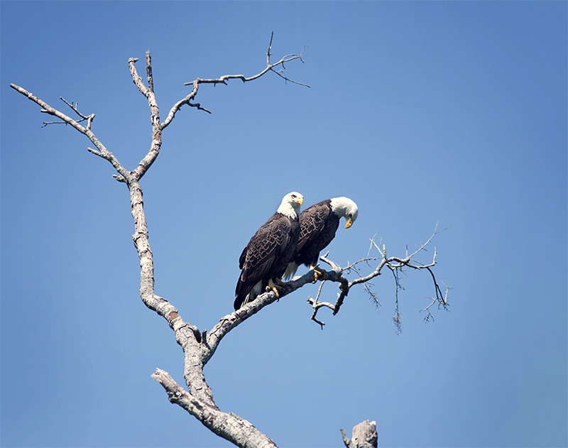 Pair of bald eagles perching on a tree