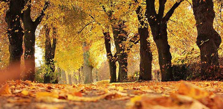 Yellow and orange leaves on a path lined with trees