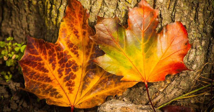 bright orange fall leaves
