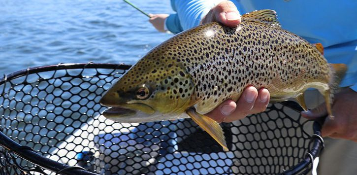 brown trout over net