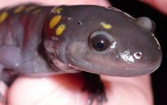 close up view of spotted salamander face