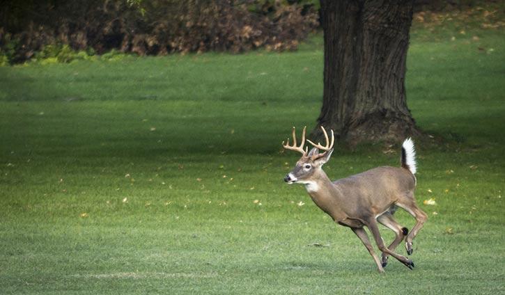 white tail deer buck