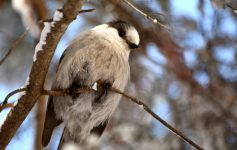 gray jay in winter