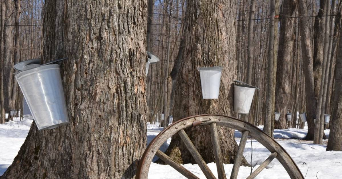 buckets on trees for maple