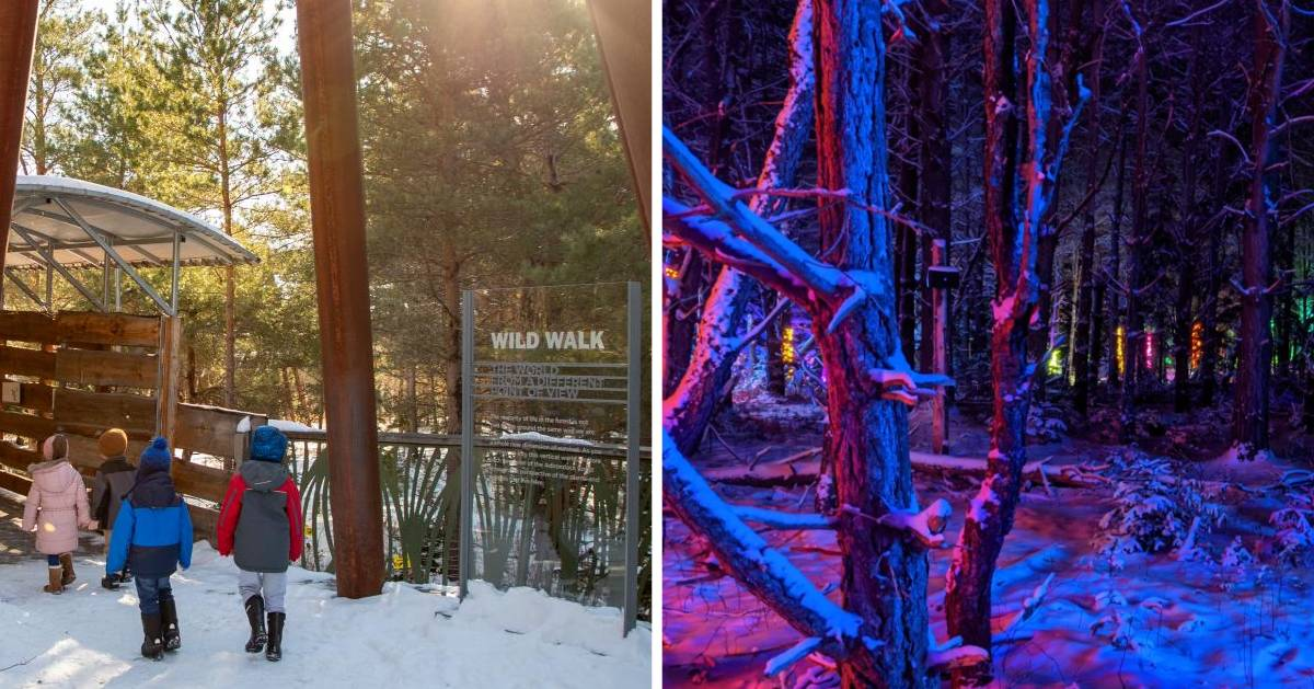 split image of Wild Walk during the day at night and lit up forest at night on the right