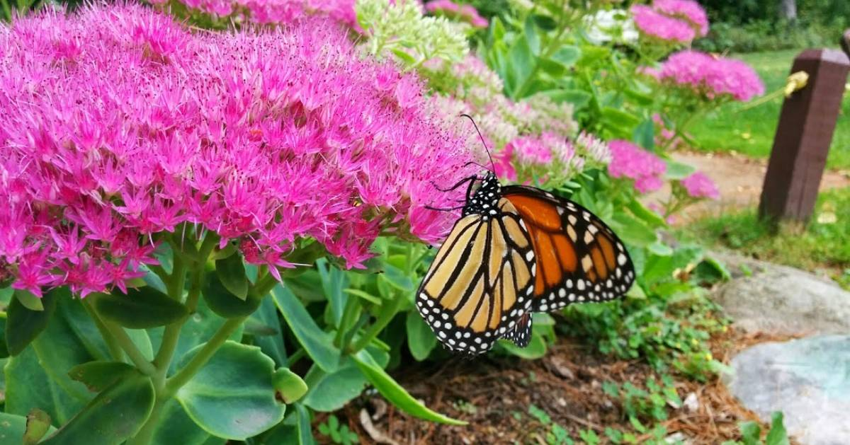 monarch butterfly