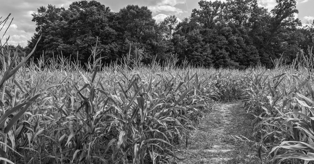 black and white photo of a corn maze