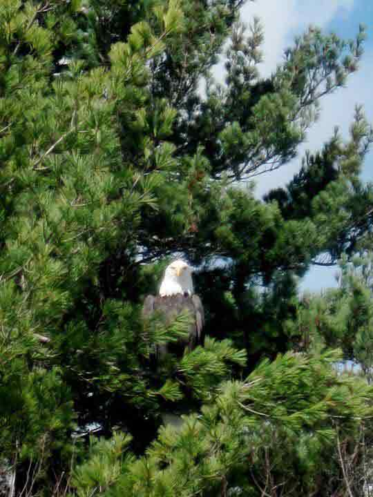 Adirondack Bald Eagles: Facts, Photos, and Where to Find Them